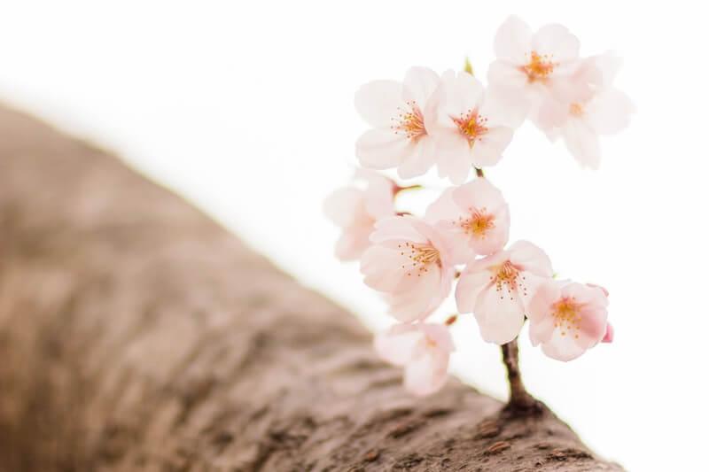 桜と枝・サクラ